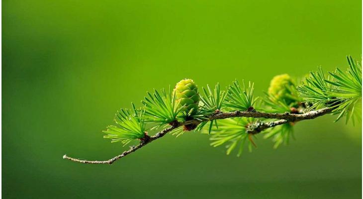 Nu in beeld: coniferen