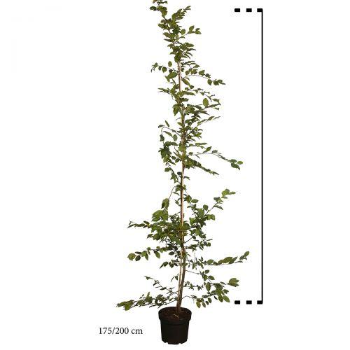 Haagbeuk Pot 175-200 cm Extra kwaliteit