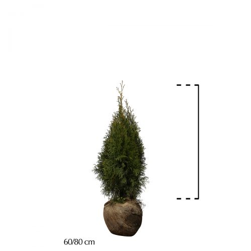 Westerse Levensboom 'Smaragd' Kluit 60-80 cm Extra kwaliteit