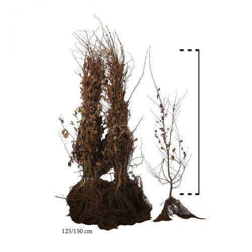 Haagbeuk Blote wortel 125-150 cm Extra kwaliteit