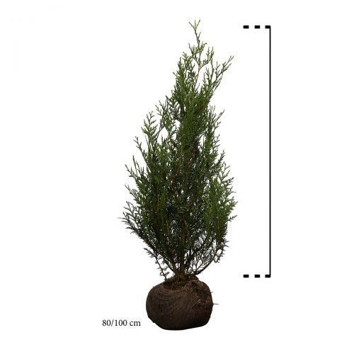 Reuzenlevensboom 'Atrovirens' Kluit 80-100 cm
