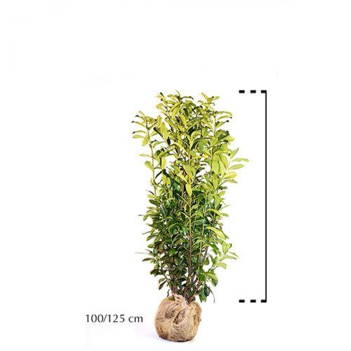 Laurier 'Genolia'® Kluit 100-125 cm Extra kwaliteit