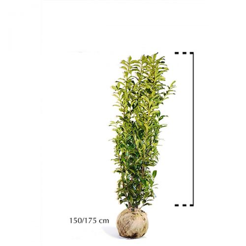 Laurier 'Genolia'® Kluit 150-175 cm Extra kwaliteit