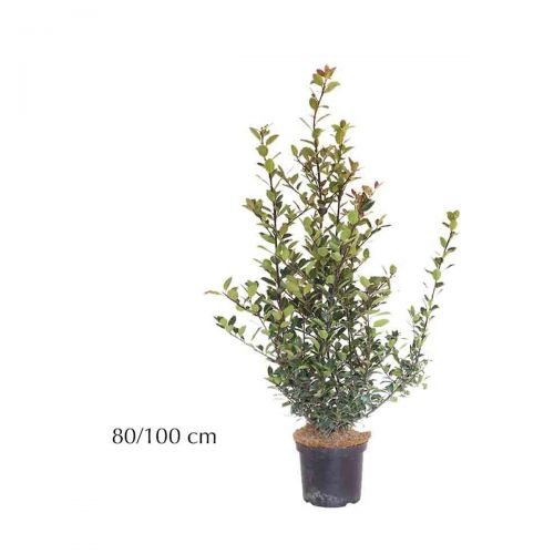 Hulst 'Heckenpracht'  Pot 80-100 cm Extra kwaliteit