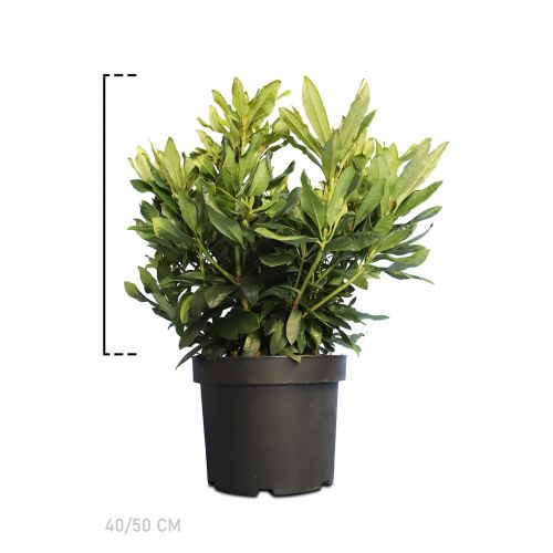Rhododendron 'Madame Masson'  Pot 40-50 cm Extra kwaliteit