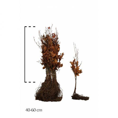 Groene beuk Blote wortel 40-60 cm Normale kwaliteit