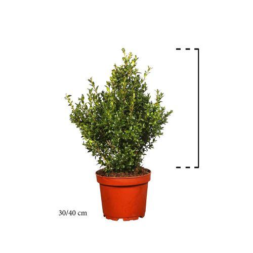 Buxus - Struiken Pot 30-40 cm