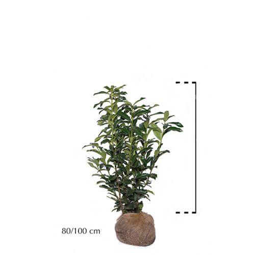 Laurier 'Genolia'® Kluit 80-100 cm Extra kwaliteit