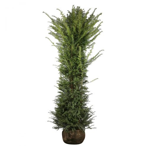 Taxus baccata Kluit 200-225 cm Extra kwaliteit