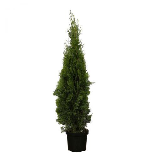 Westerse Levensboom 'Smaragd' Pot 140-160 cm Extra kwaliteit