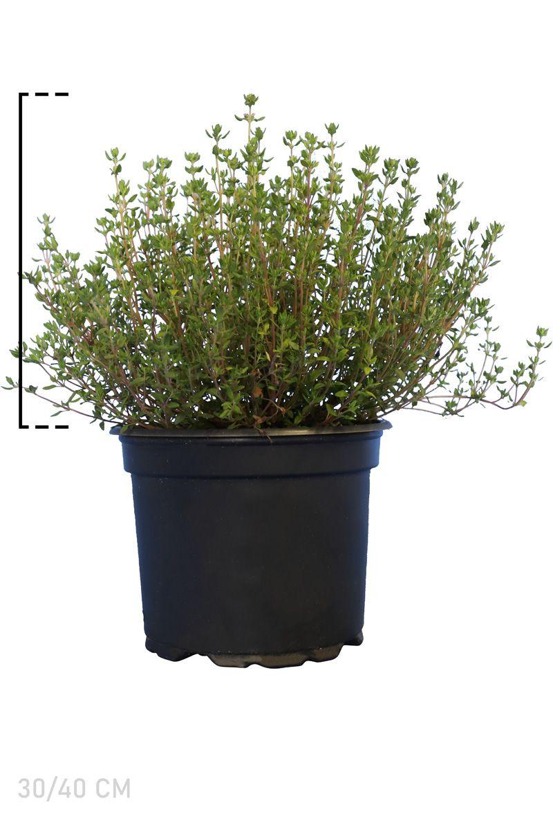 Thymus officinalis Pot 15-20 cm