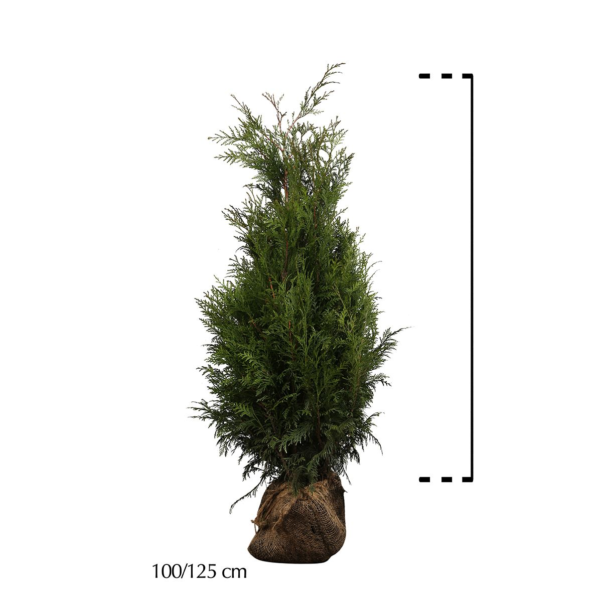 Reuzenlevensboom 'Martin'  Kluit 100-125 cm Extra kwaliteit