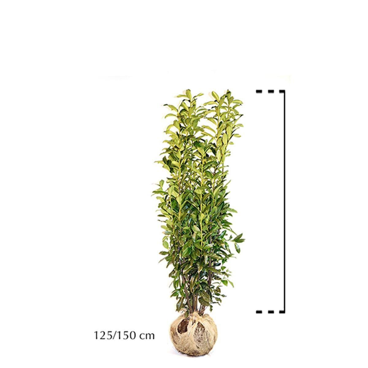 Laurier 'Genolia'® Kluit 125-150 cm Extra kwaliteit