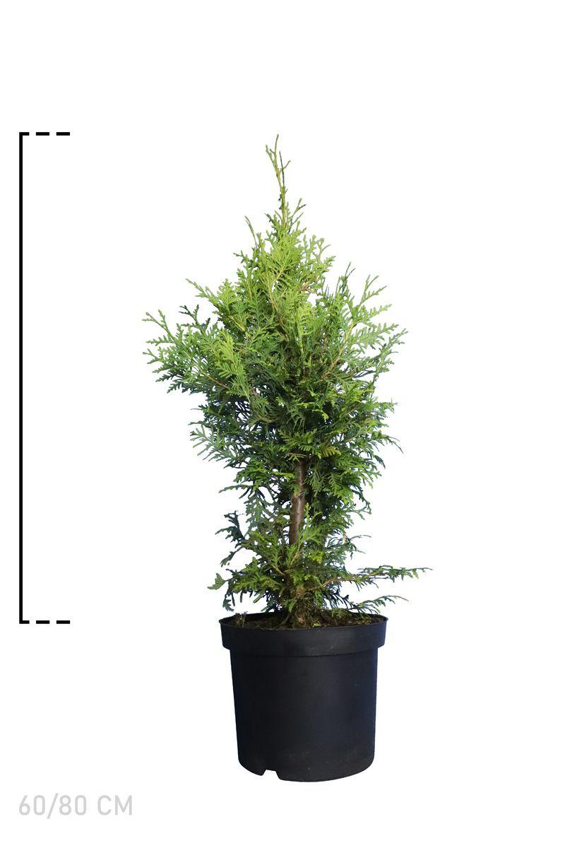 Westerse Levensboom 'Brabant' Pot 60-80 cm