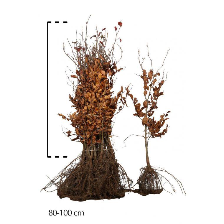 Rode beuk Blote wortel 80-100 cm Extra kwaliteit