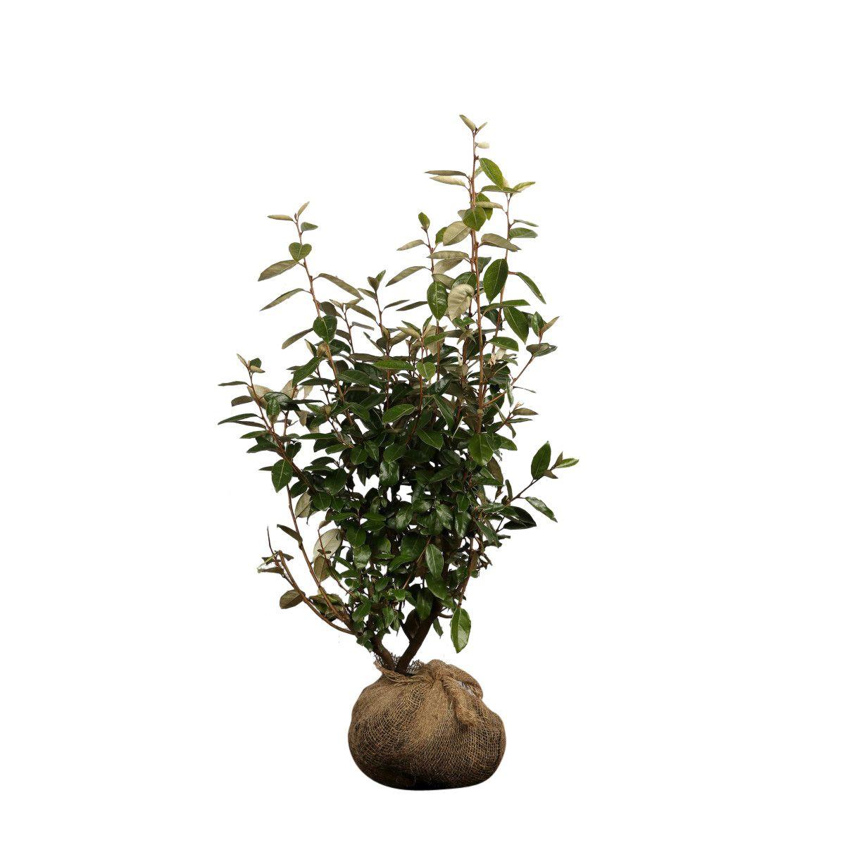 Olijfwilg, Zilverbes Kluit 80-100 cm