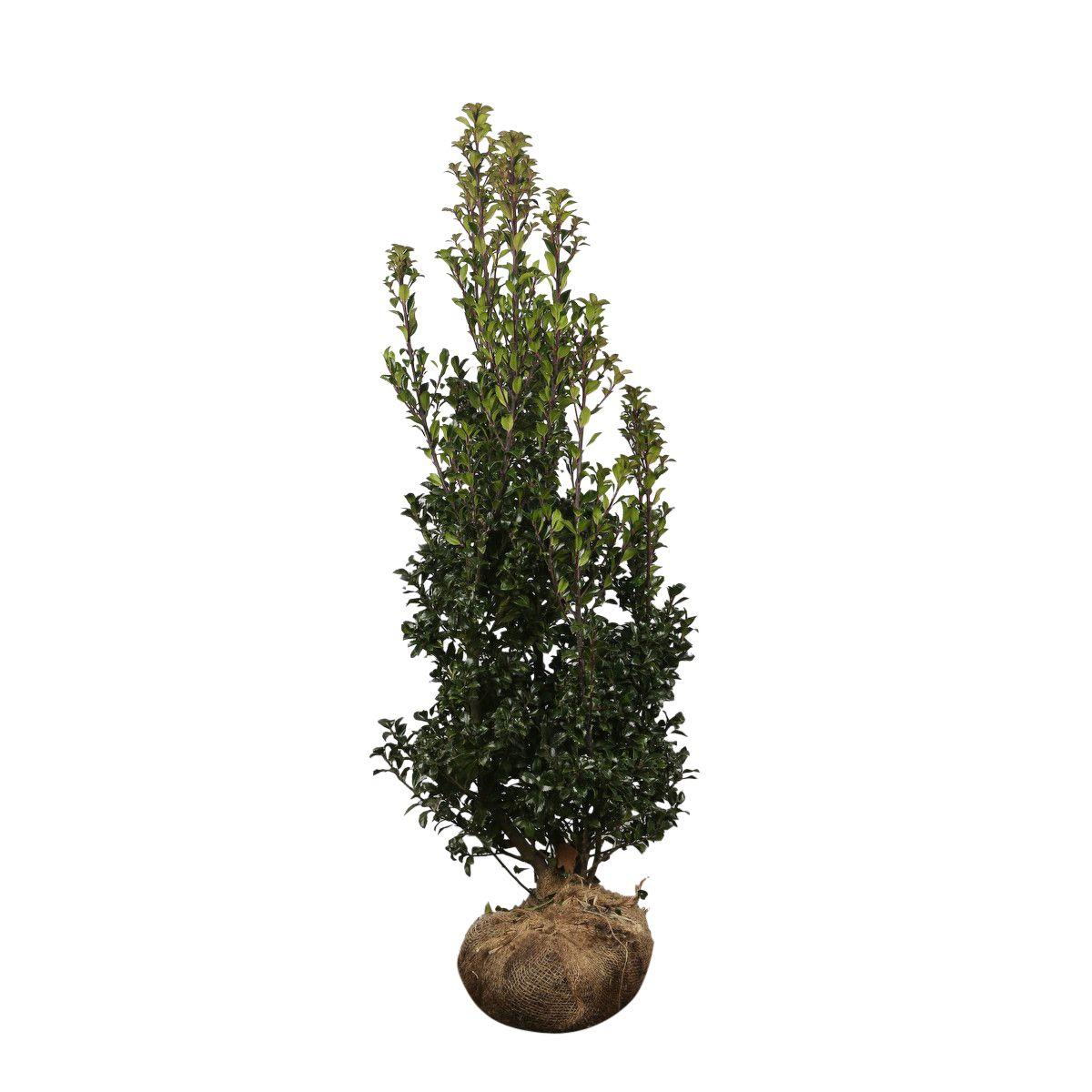Hulst 'Heckenstar' Kluit 100-125 cm