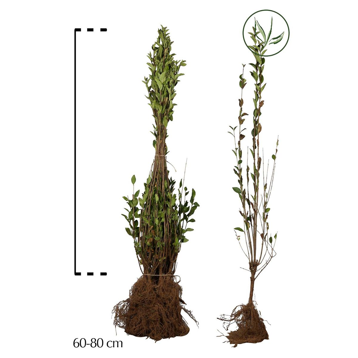 Bonte haagliguster Blote wortel 60-80 cm
