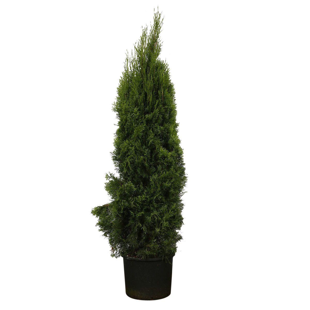 Westerse Levensboom 'Smaragd' Pot 160-180 cm Extra kwaliteit