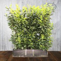 Laurier 'Genolia'® Kant-en-klaar Hagen 180-190 cm Kant-en-klaar Hagen