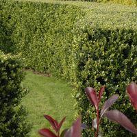 Japanse hulst 'Green Hedge'