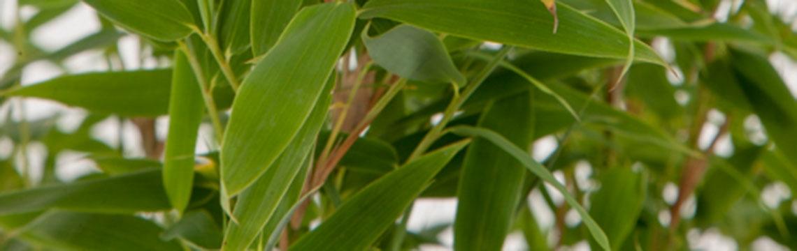 Bamboehaag online kopen