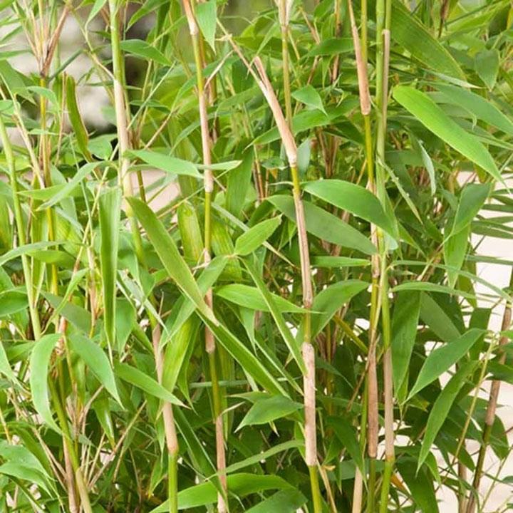 Bamboehaag in de webshop kopen