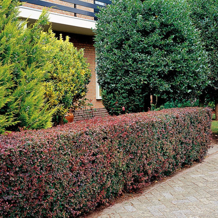 Berberis planten en verzorgen