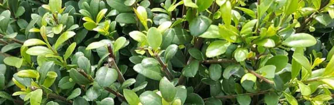 Buxus vervangers bestellen bij Haagplanten.nl