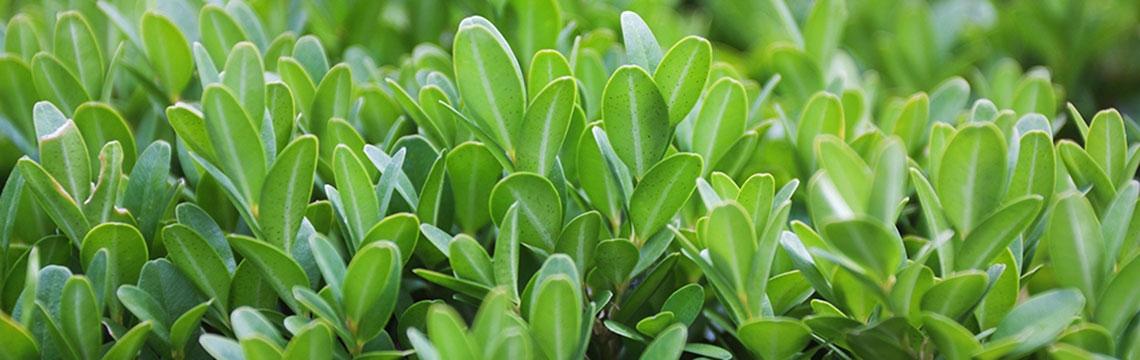 Buxushaag