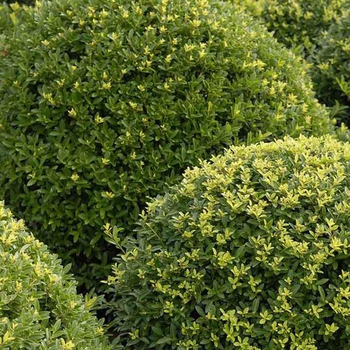 Welke buxusvervanger past bij mijn tuin?