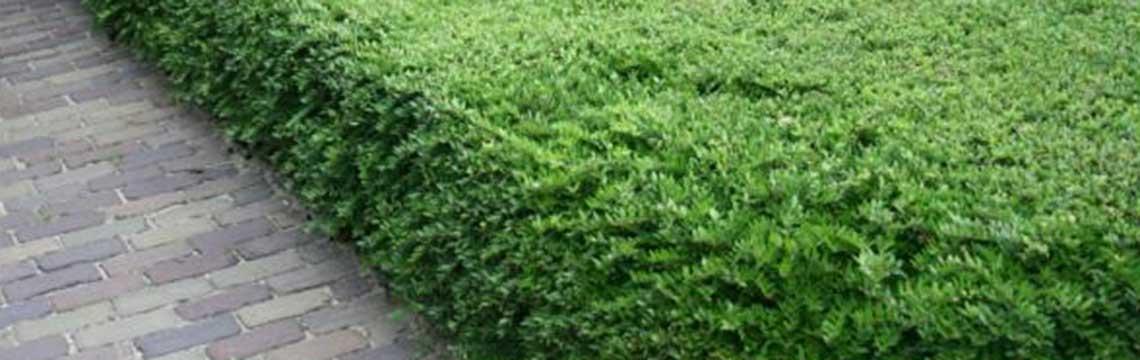 Chinese kamperfoelie Lonicera nitida