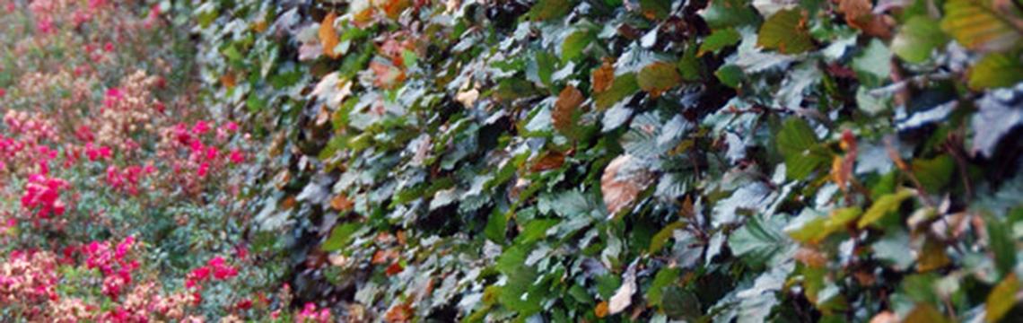 Haagplanten voor beschutting online kopen