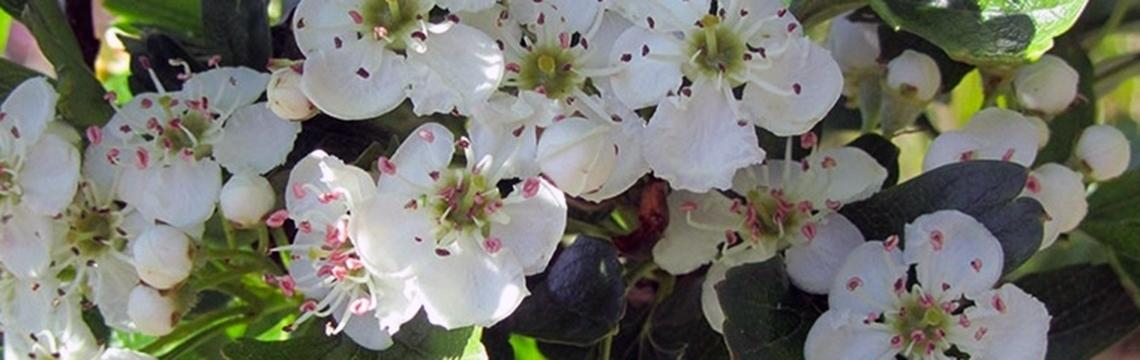 Haagplanten voor beschutting