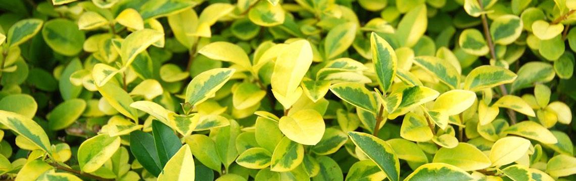 Haagplanten voor landelijke tuin online bestellen