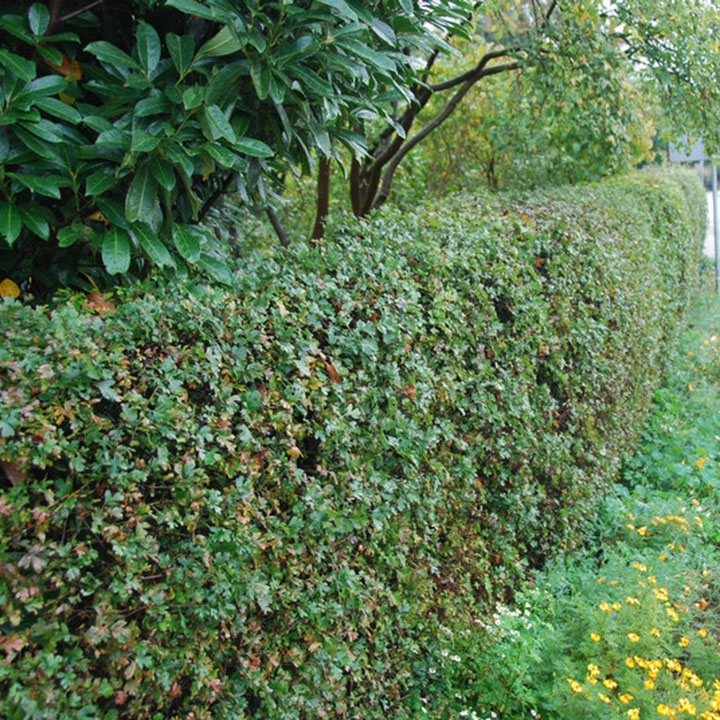 Haagplanten voor natuurlijke tuinen