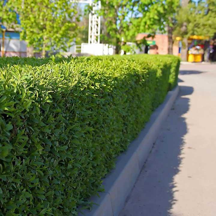 Haagplanten nieuwbouwwijken laurier
