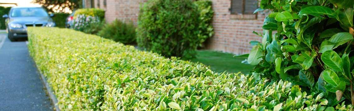 Haagplanten voor nieuwbouwwijken