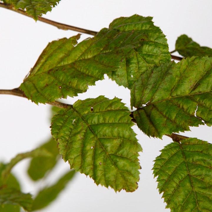Haagplanten voor een rijtjeshuis online bestellen