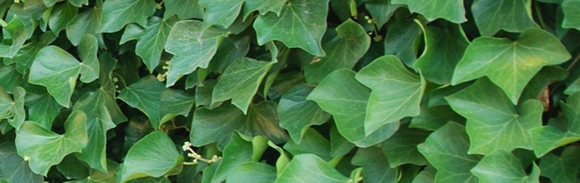 Haagplanten voor kleine tuin
