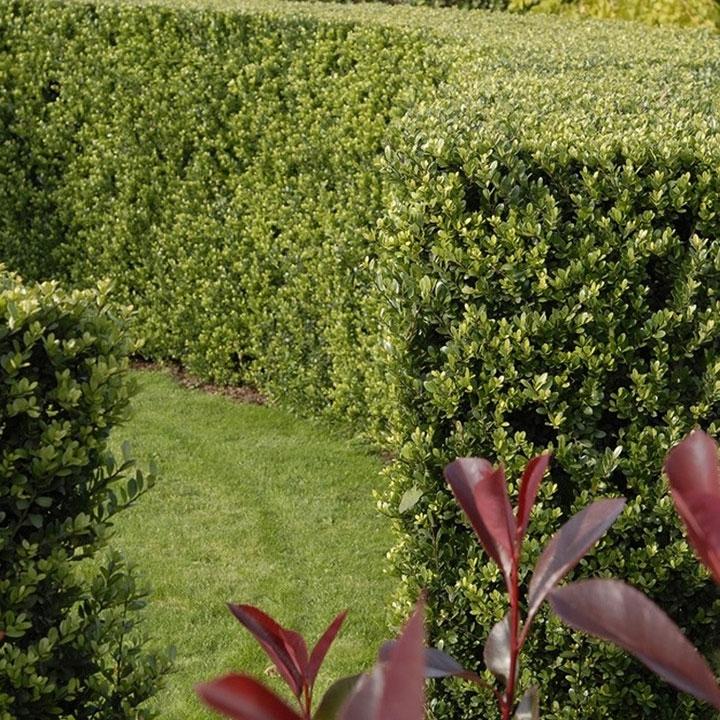 Haagplanten voor tuinafscheiding