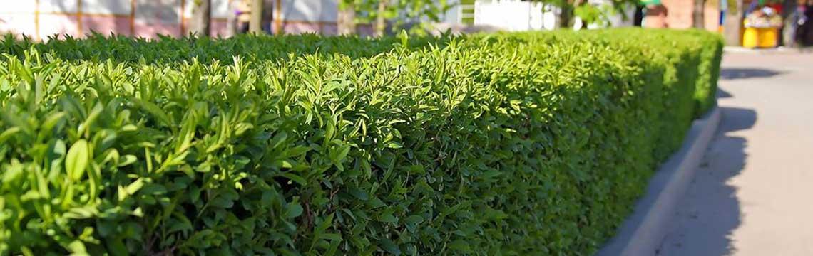 Immergrüne Heckenpflanzen für trockene Böden