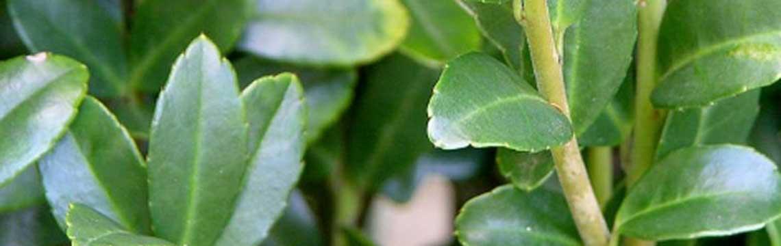 Ilex crenata Japanse hulst