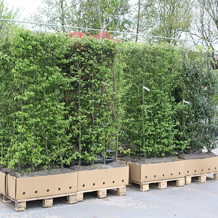 Kant-en-klaarhagen planten: het planten