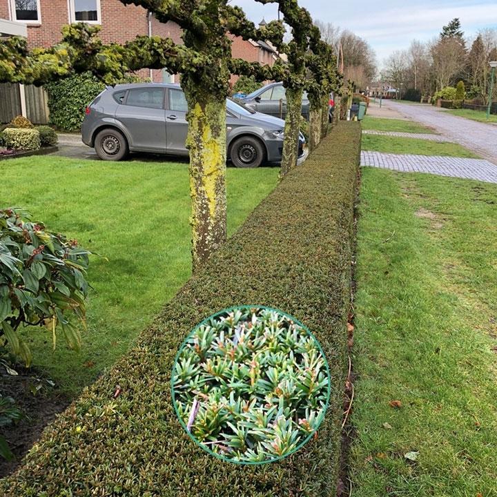 Kant-en-klare coniferenhaag planten