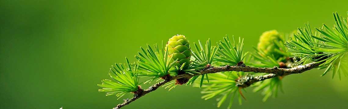 kant-en-klare coniferenhaag topkwaliteit