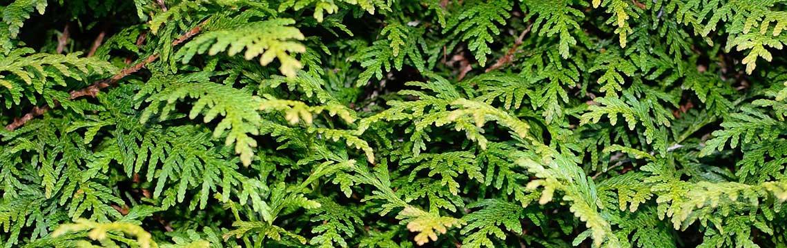 kant-en-klare coniferenhaag variaties