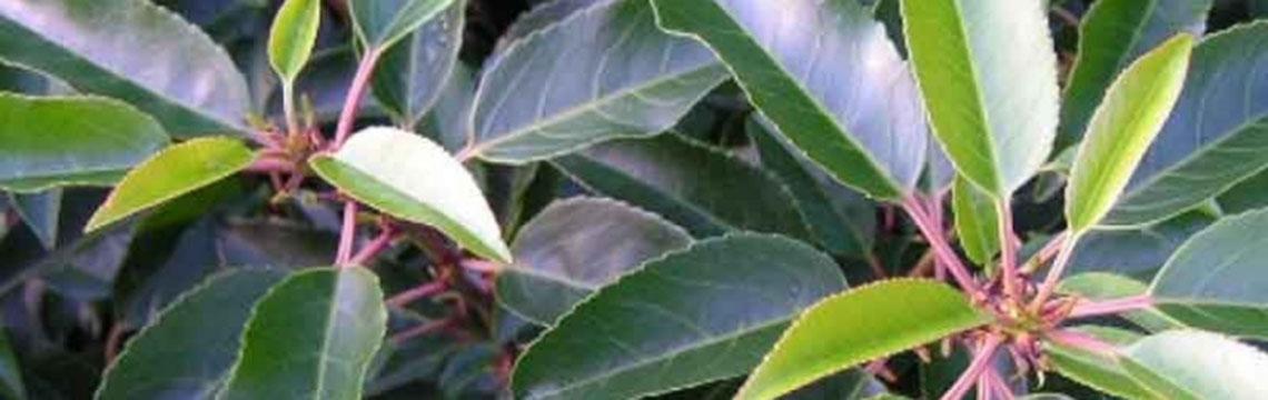 Is een kant-en-klare laurierhaag geschikt voor mijn tuin?