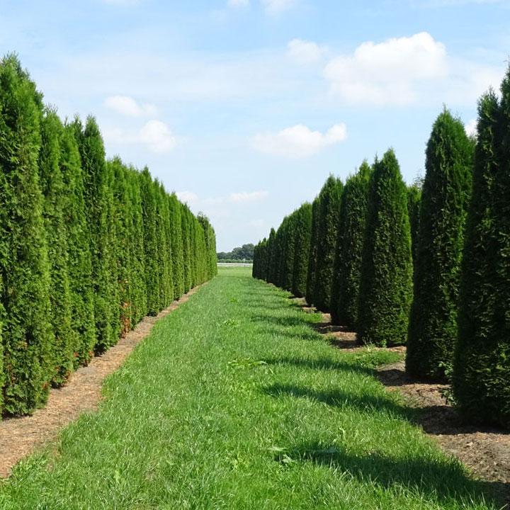 Hoe wordt een kant-en-klare levensboomhaag gekweekt?