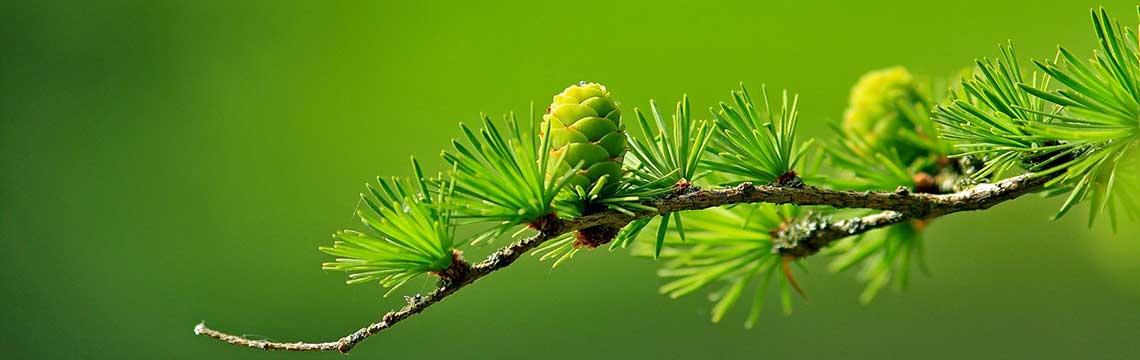 kwekerij coniferen